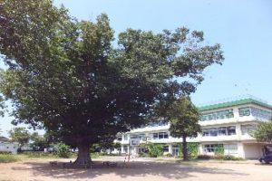 けやきの木(夏)