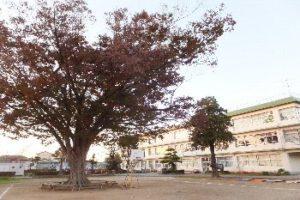 けやきの木(秋)