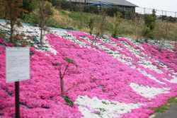 斜面に満開の芝桜