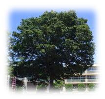 スクールツリー 欅の木
