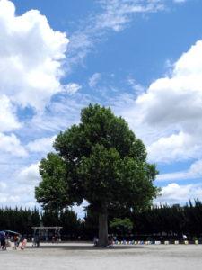 すずかけの木