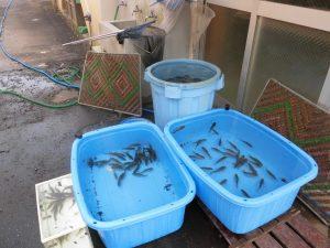 池の水,抜いてみました。の前にお魚の避難です。結構たくさん住んでいましたよ。