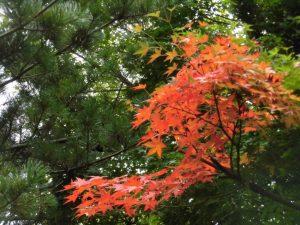 体育館前では,もう紅葉が始まっていました。もう秋なんですね。