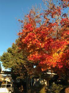 きれいだった紅葉も,だいぶ終わりに近づいてきました。