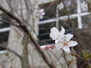 音楽室外のしだれ桜は,開花が始まっていました。
