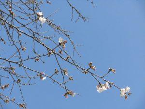 ちょうど今日,睦中のソメイヨシノも咲き始めました。睦中開花宣言です。